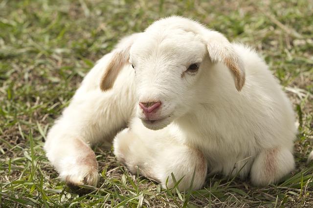 agnello fattoria pepe