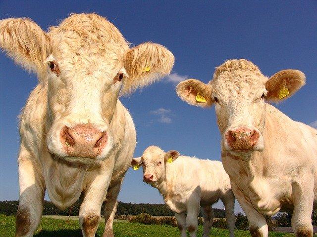 mucche fattoria pepe